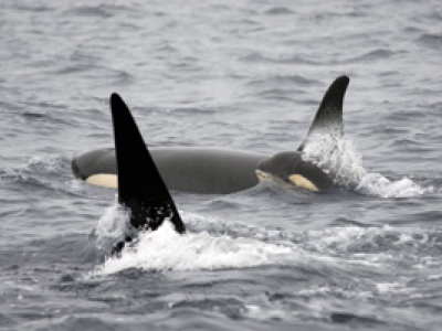 Baby Orca Whale with Parents