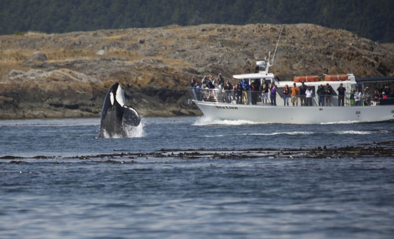 Orca spy hopping with a San Juan Safaris vessel in the background.